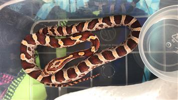 Baby corn snakes