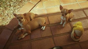 Pasadena Chihuahua Puppies