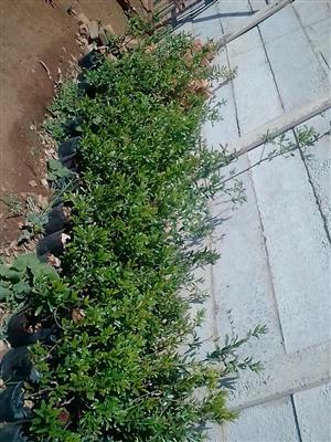 Pomegranate plants (Wonderful variety) x 85