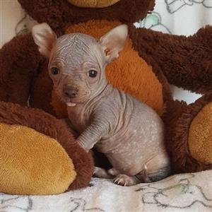 Chihuahua hairless male