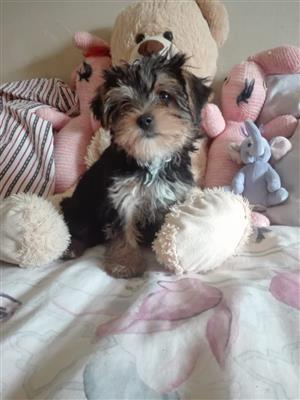 Yorkshire terrier puppies yorkies