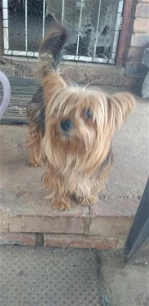 Adult Yorkie female looking for good house