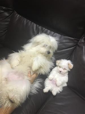 Maltese Puppy's