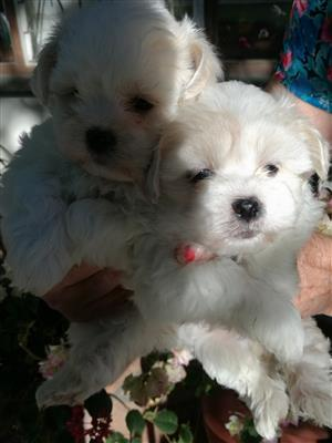 Adorably cute mini Maltese puppies for sale