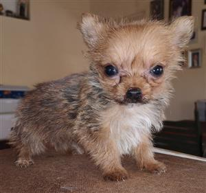 Exotic Yorkshire Terrier very small type teacup male puppy