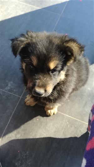 Male German Shepard pup