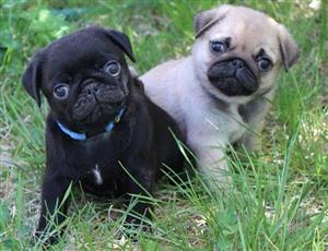 pug puppies in Dogs and Puppies in South Africa | Junk Mail
