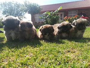 beautiful pekinese pure bred puppys