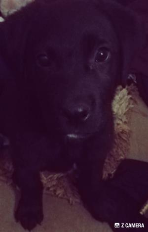 3 month old labrador puppy