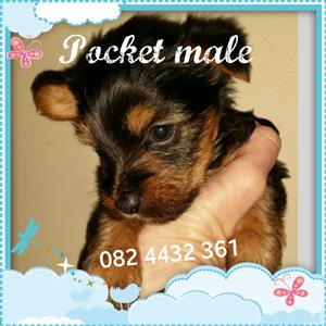 Yorkshire terrier pocket male pup