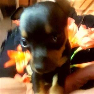 Teacup Miniature Doberman Pincher Puppies