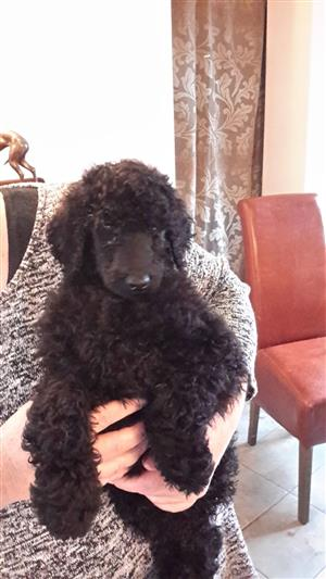 Quality Standard Poodle Pups For Sale