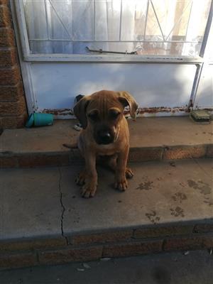 Bullmastiff puppy 9 weeks
