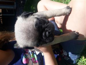 Last pug puppy for sale
