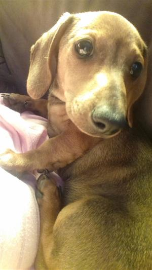 Worshond / Dachshund puppy