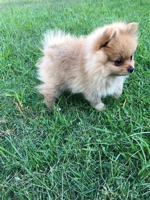 Purebred Toy Pom ( Pomeranian) puppy looking for a good home
