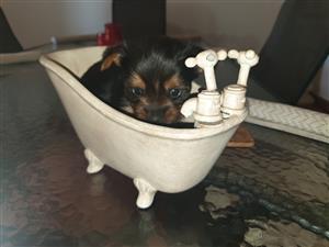 yorkie pocket size puppies