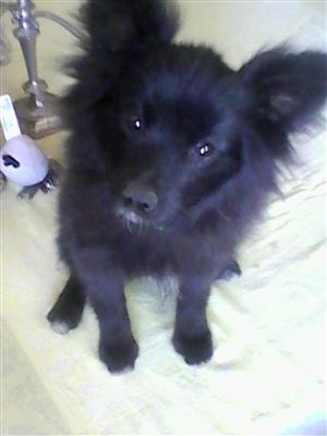 beautful pure breed black pomeranien