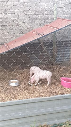 2 x Sows for Sale.