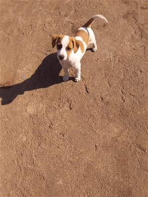 Thorough bred jack Russell female puppy