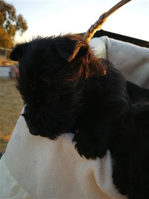 Opregte Scottish terriers