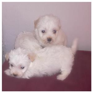 Maltese puppies miniature