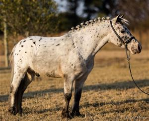 Incredible Quality must Have APPELOOSA Miniature horse stallion