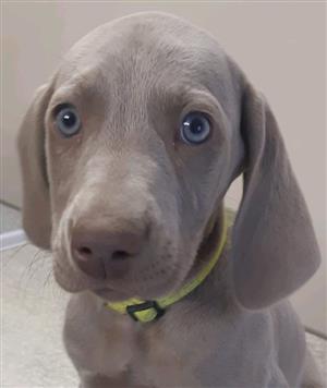 Weimeraner Puppies!