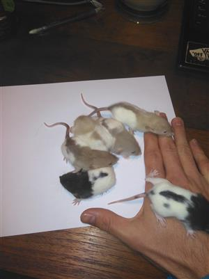 Pure bred Dumbo rats