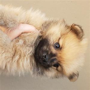 Toy Pom pomeranian pups