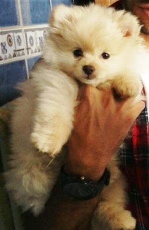 Toypom Pomeranian female 3 months old, Pta North, 08 222 14 555