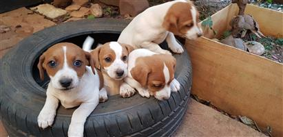 Purebred Jack Russel Male puppies