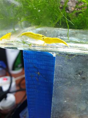Freshwater Shrimp , Blue dream/ blue diamonds, red fire grade and 24K yellow