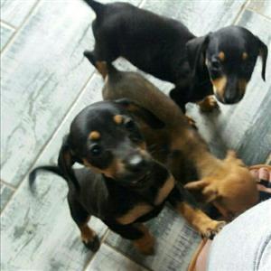 Dachund x pincher puppies