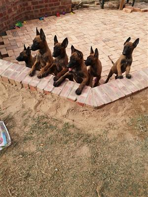 Belgium Malinoi for sale