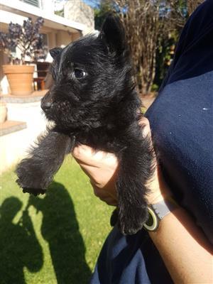 Black Scottish puppies