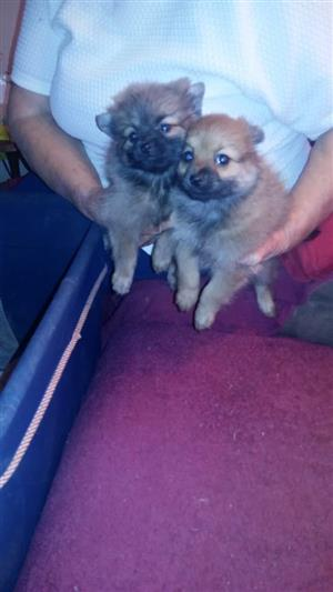 Toypom puppies for sale
