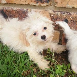 Small and petite morkie boys