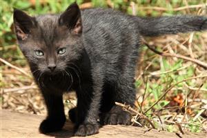 1x full black kitten. Male. 8 weeks old