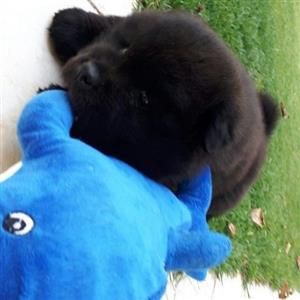 Chow Chow female puppies black or brown