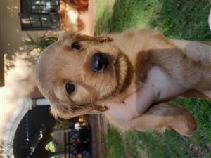 Adorable Cocker Spaniel Puppies for sale