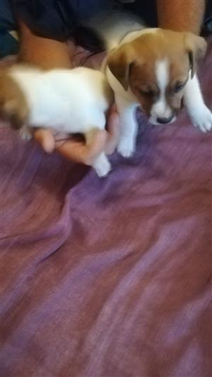 shortleg jack russel puppies for sale