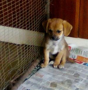 Miniature dachshund X Pekingese puppies
