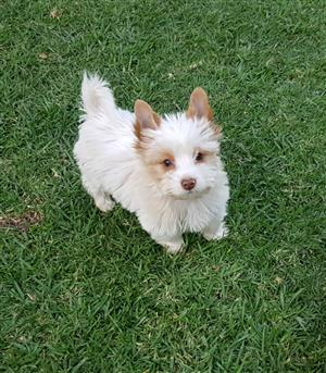Female Goldberry Yorkie puppy
