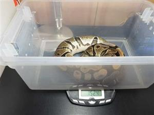 normal female ball python for sale