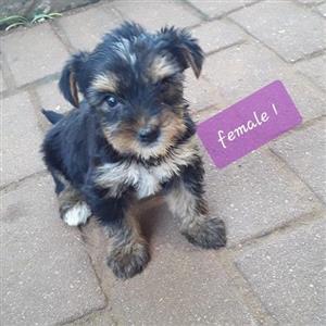 Miniature Purebred Yorkshire puppies