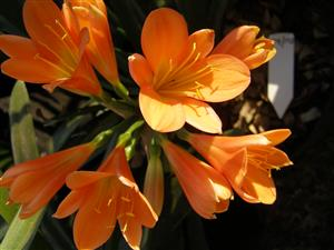 Clivias for mass planting