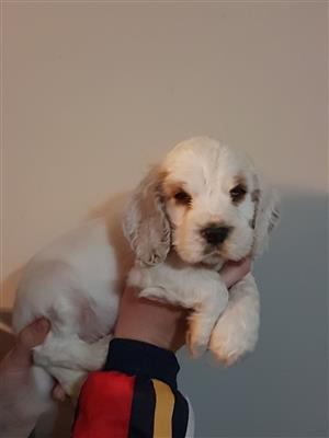 English Cocker Spaniel puppies available!