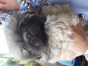 Pedigree Pekingese puppy.