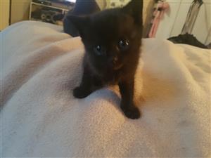 Baby kitten 6 weeks old